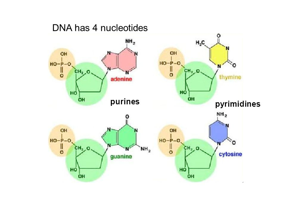 DNA has 4 nucleotides purines pyrimidines