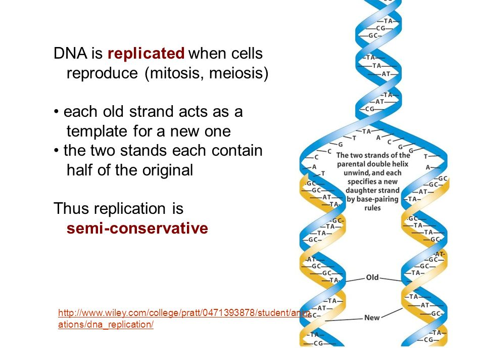 DNA is replicated when cells reproduce (mitosis, meiosis)
