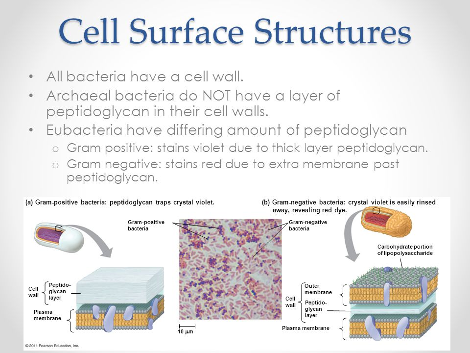 Cell Surface Structures