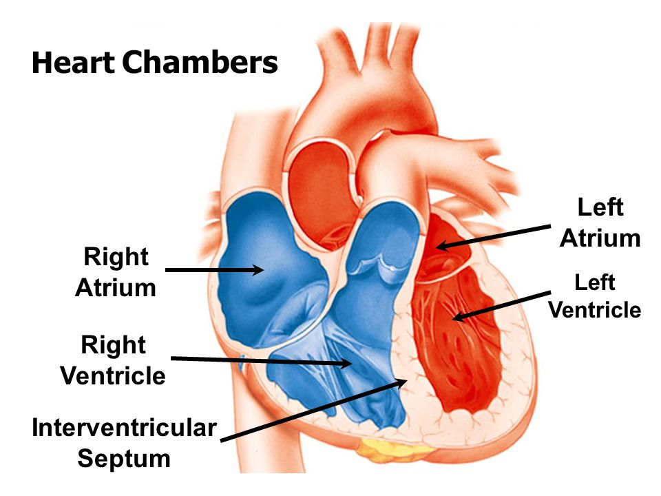 Chapter 12 The Cardiovascular System Ppt Video Online Download