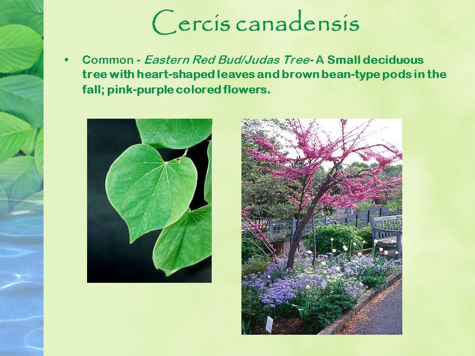 Horticulture plant id study guide ppt download 15 cercis canadensis mightylinksfo