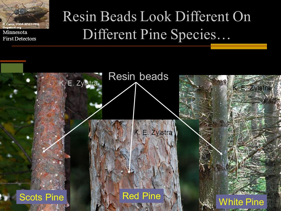 Resin Beads Look Different On Different Pine Species…