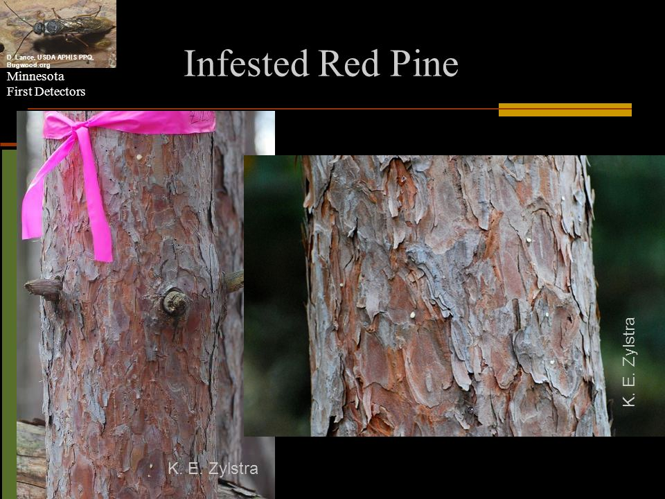 Infested Red Pine K. E. Zylstra K. E. Zylstra