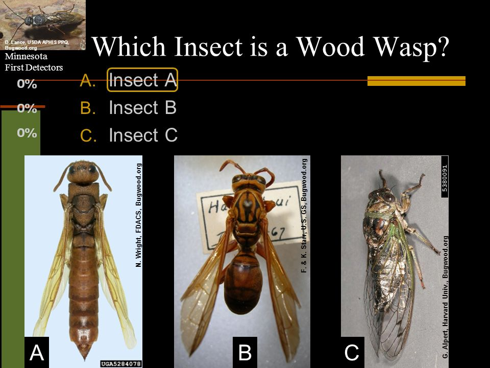 Which Insect is a Wood Wasp
