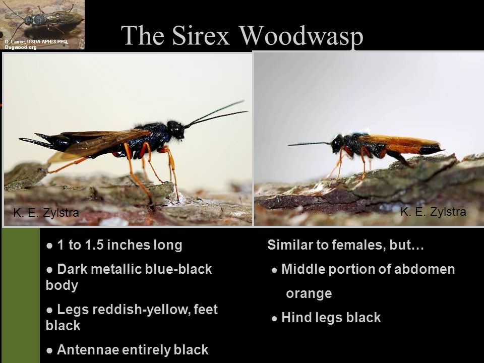 The Sirex Woodwasp ● 1 to 1.5 inches long