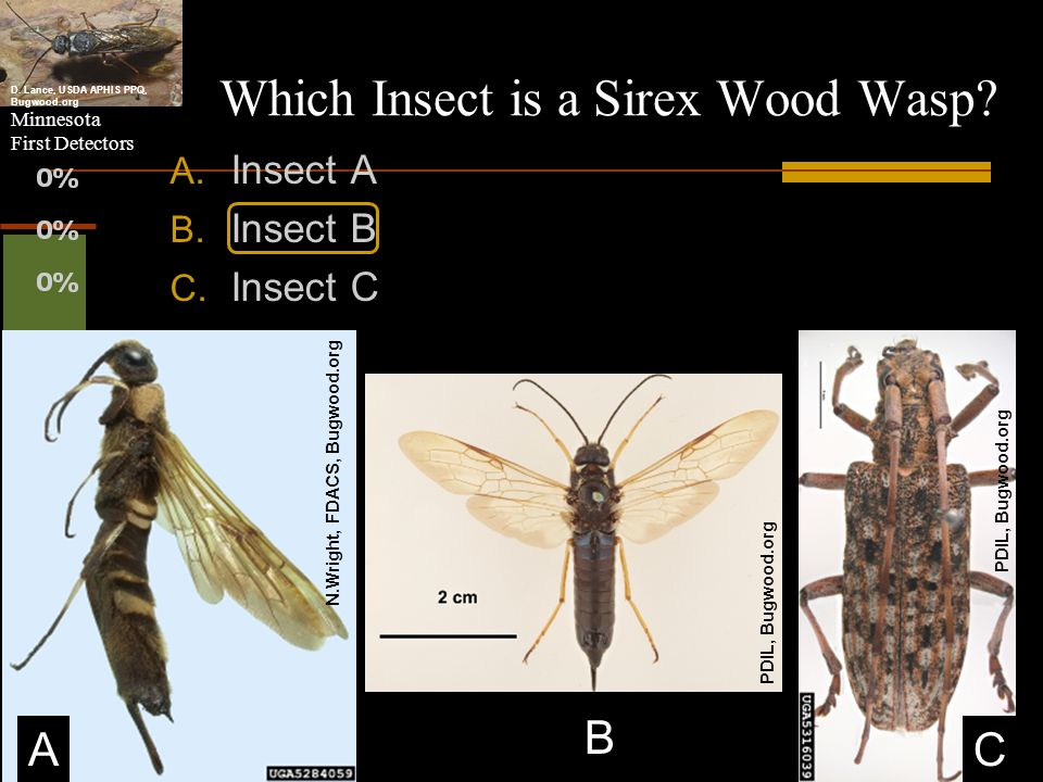 Which Insect is a Sirex Wood Wasp
