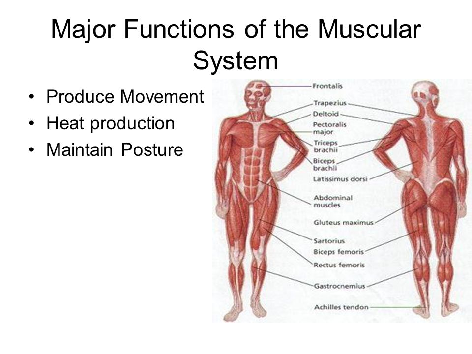 Luxury Functions Of The Muscular System Image Collection - Anatomy ...