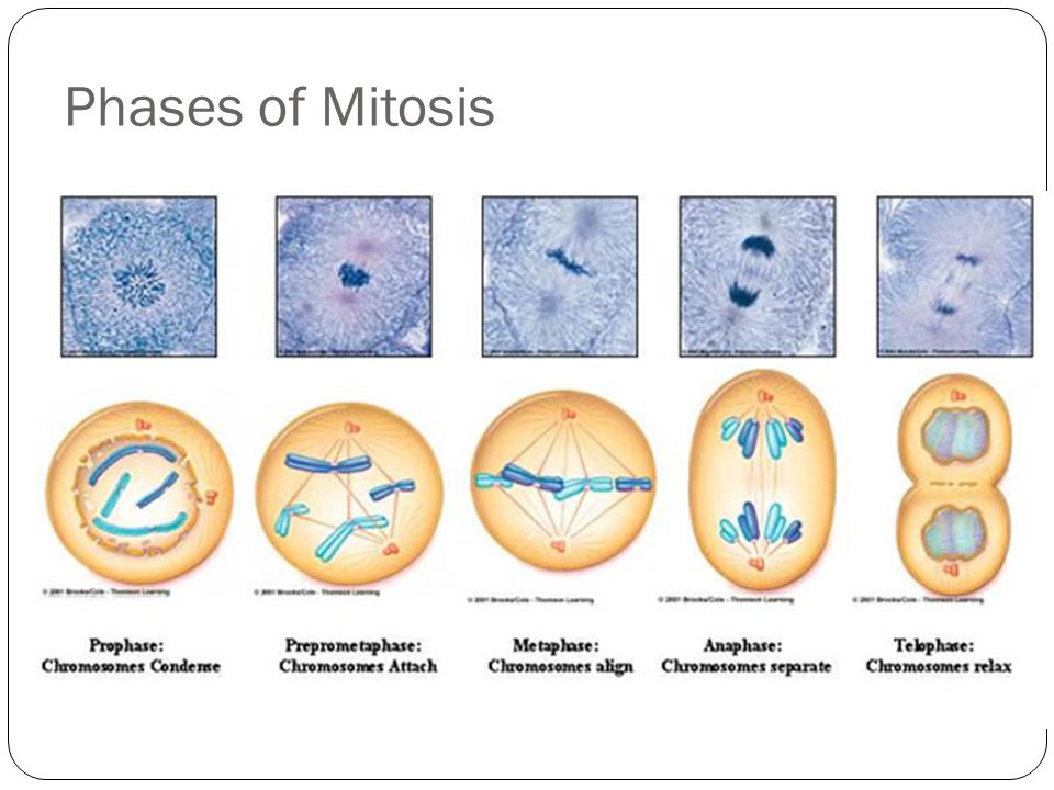 mitosis and meiosis sc 912 l compare and contrast mitosis