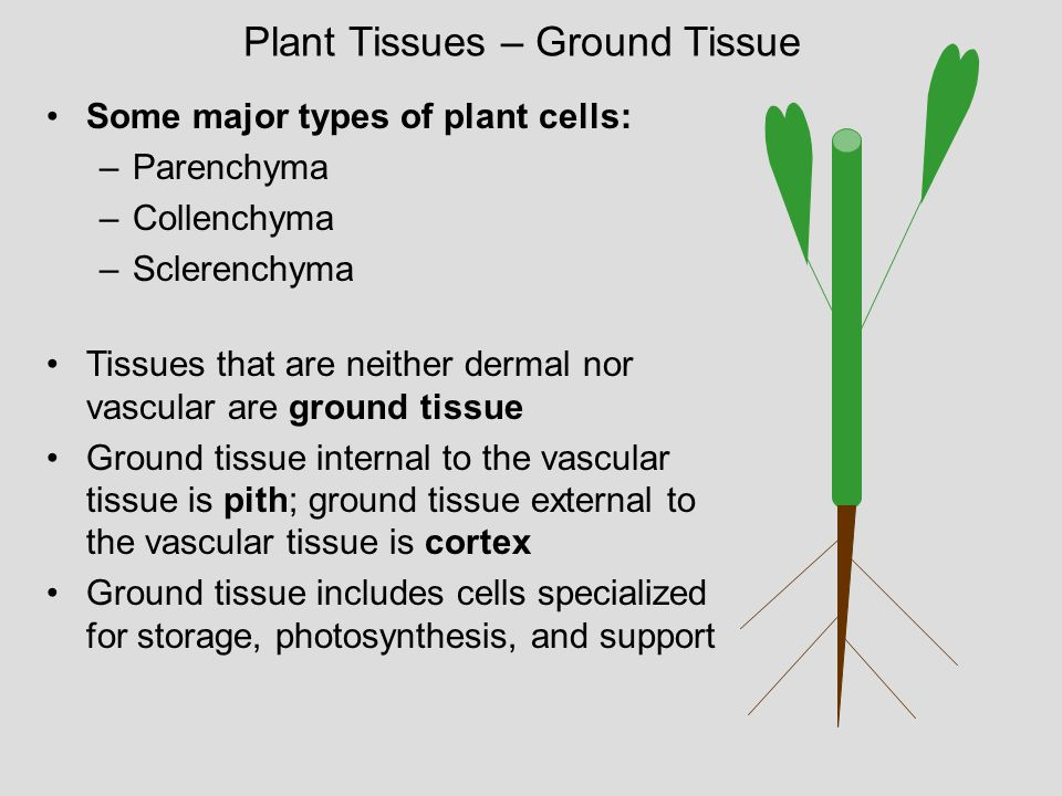 Plant Tissues – Ground Tissue