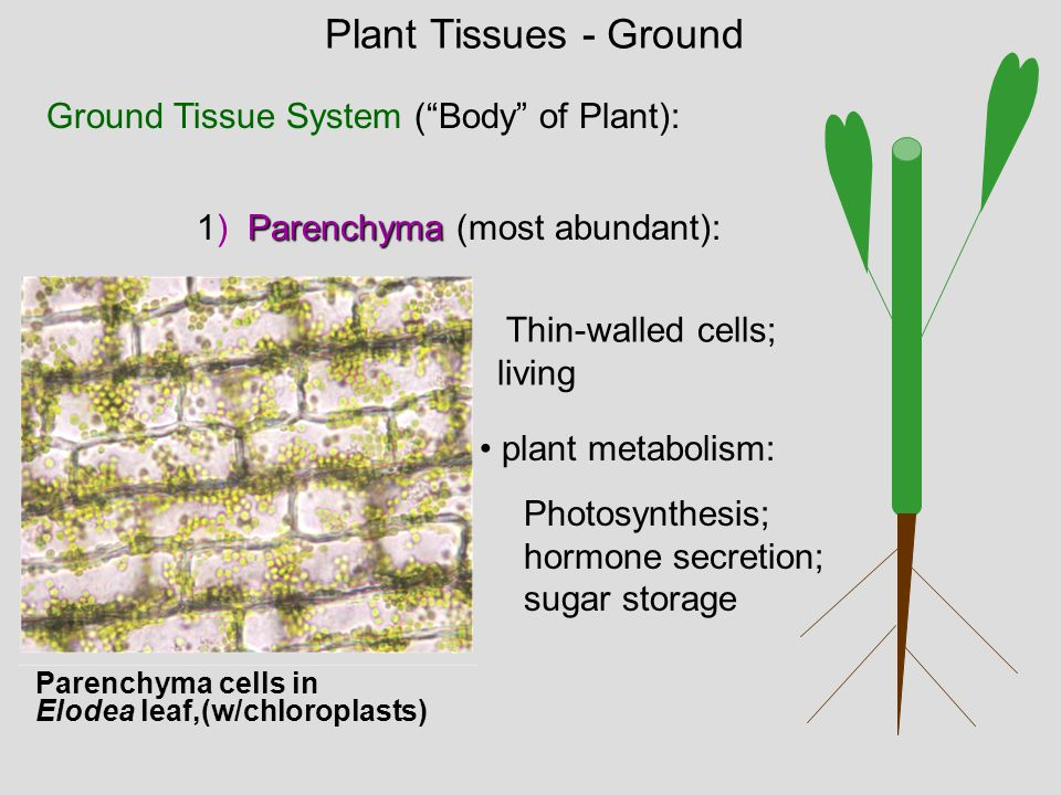 Plant Tissues - Ground Ground Tissue System ( Body of Plant):