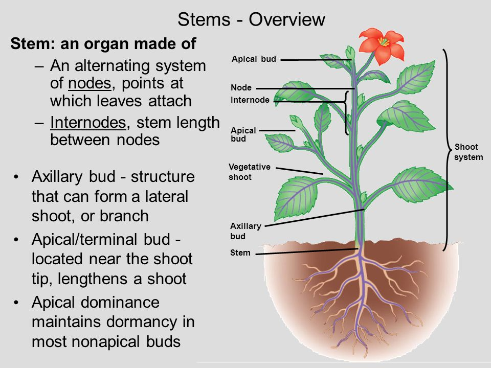 Stems - Overview Stem: an organ made of