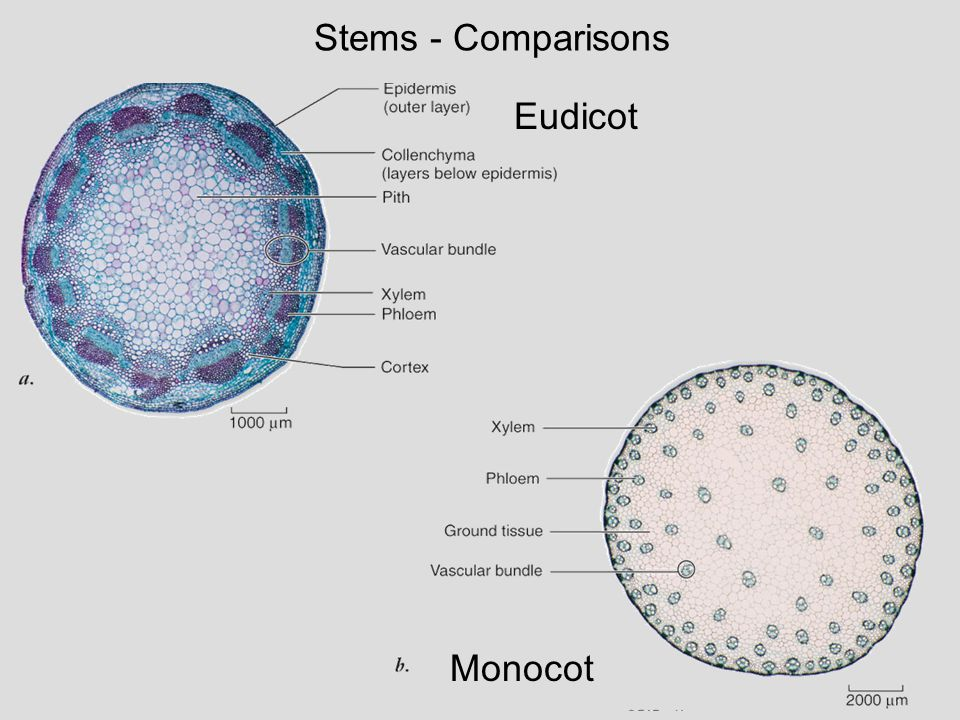 Stems - Comparisons Eudicot Monocot