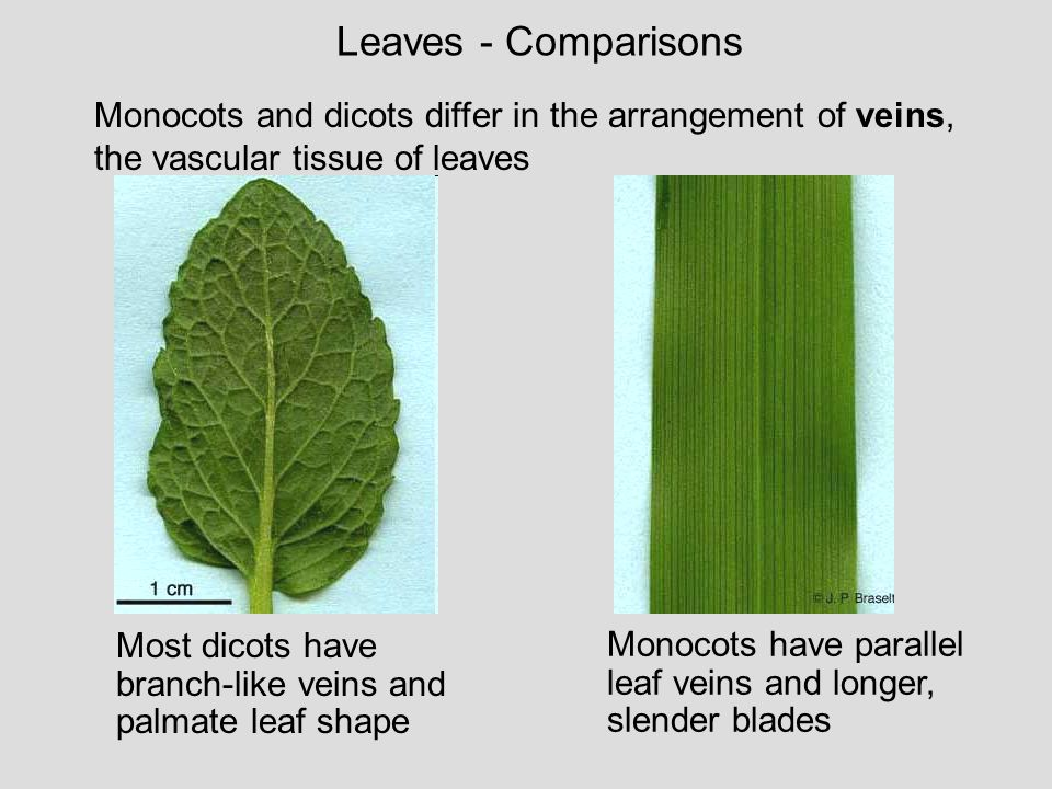 Leaves - Comparisons Monocots and dicots differ in the arrangement of veins, the vascular tissue of leaves.