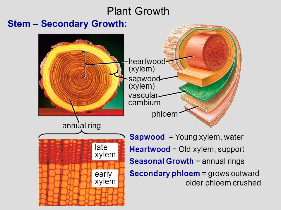 Plant Growth Stem – Secondary Growth: heartwood (xylem) sapwood