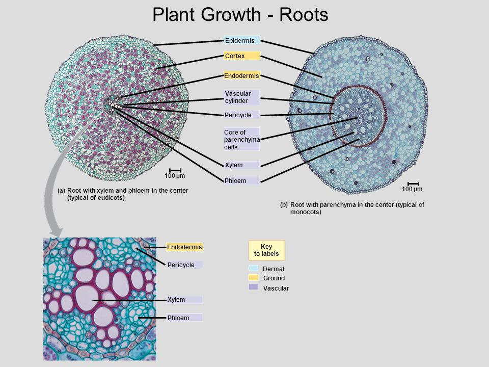 Plant Growth - Roots Epidermis. Cortex. Endodermis. Vascular. cylinder. Pericycle. Core of. parenchyma.