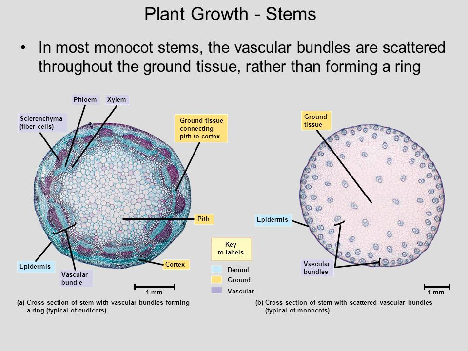Plant Growth - Stems In most monocot stems, the vascular bundles are scattered throughout the ground tissue, rather than forming a ring.