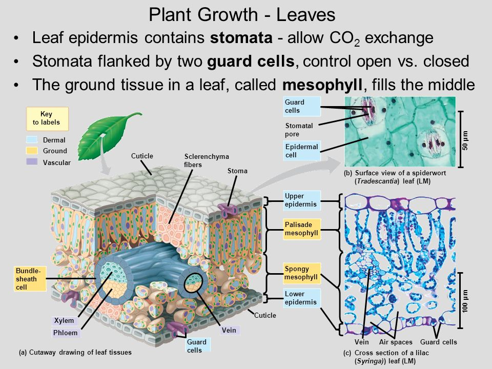 Plant Growth - Leaves Leaf epidermis contains stomata - allow CO2 exchange. Stomata flanked by two guard cells, control open vs. closed.