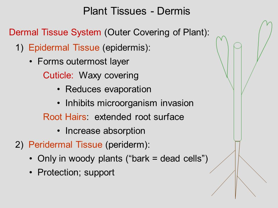 Plant Tissues - Dermis Dermal Tissue System (Outer Covering of Plant):