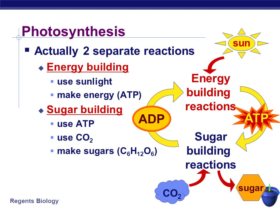 Energy building reactions Sugar building reactions