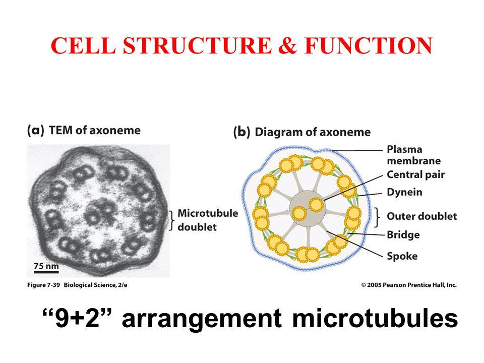 9 2 Arrangement Microtubules CELL STRUCTURE FUNCTION