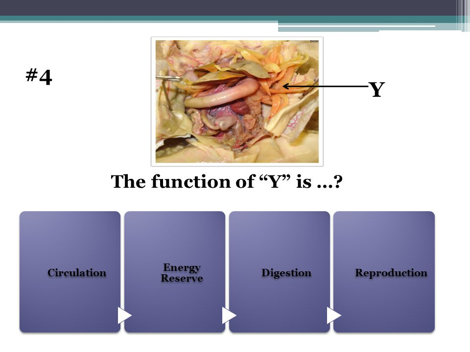 #4 Y The function of Y is … Circulation Energy Reserve Digestion