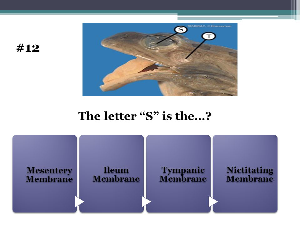 #12 The letter S is the… Mesentery Membrane Ileum Membrane