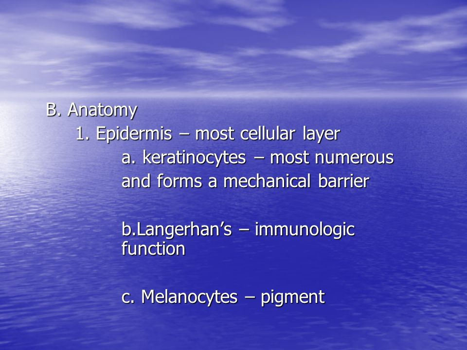 B. Anatomy 1. Epidermis – most cellular layer. a. keratinocytes – most numerous. and forms a mechanical barrier.