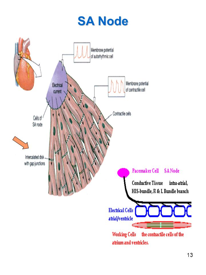 SA Node Cardiac muscle cells are involuntary, striated, branched