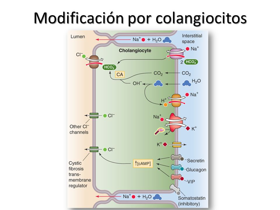 Modificación por colangiocitos