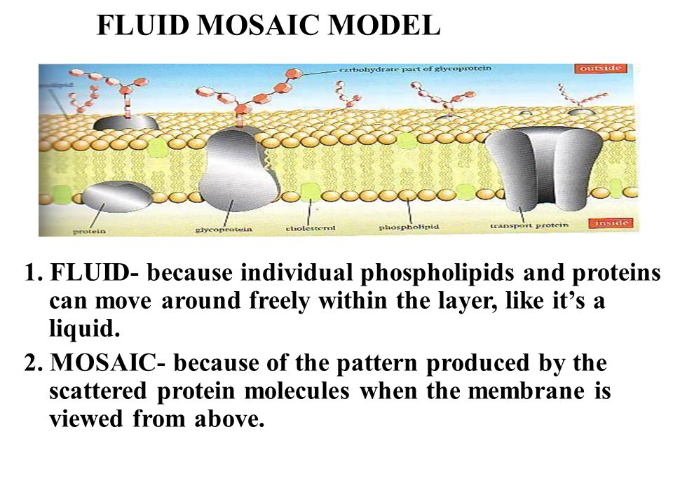 describe the fluid mosaic model of a Fluid mosaic is a term used to describe the current model of the cell membrane cell membranes are basically double layers (bilayers) of molecules called phospholipids.