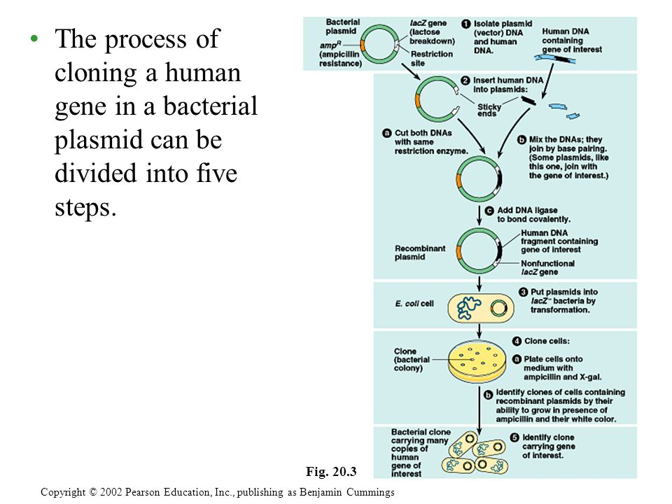 The process of cloning a human gene in a bacterial plasmid can be divided into five steps.