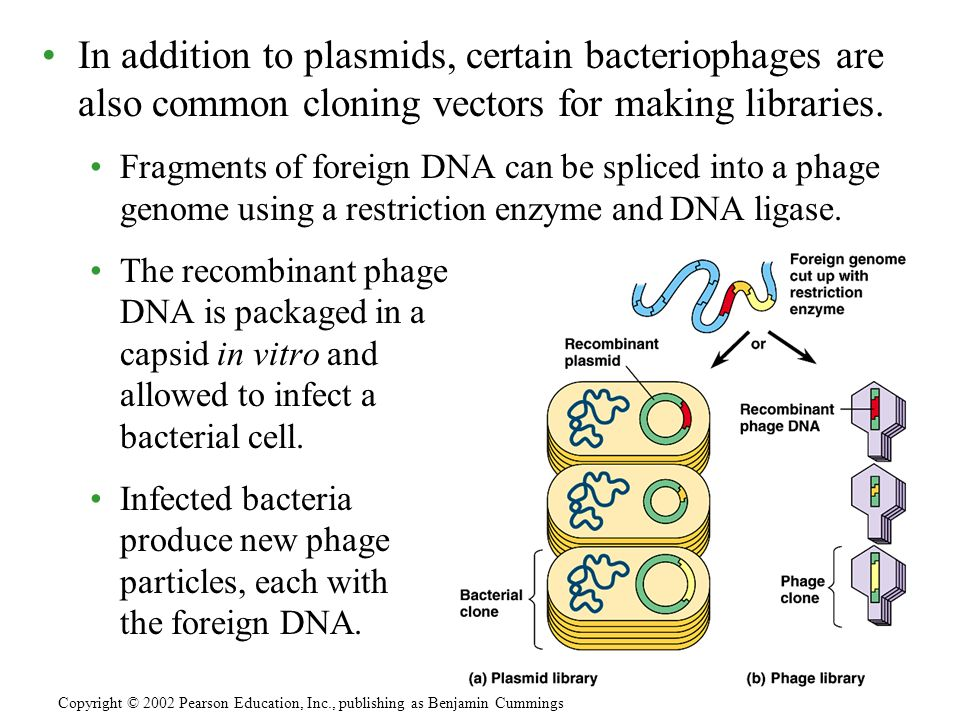 In addition to plasmids, certain bacteriophages are also common cloning vectors for making libraries.
