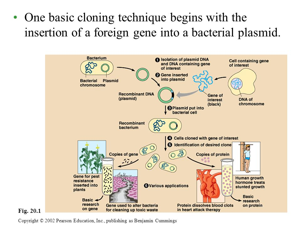 One basic cloning technique begins with the insertion of a foreign gene into a bacterial plasmid.
