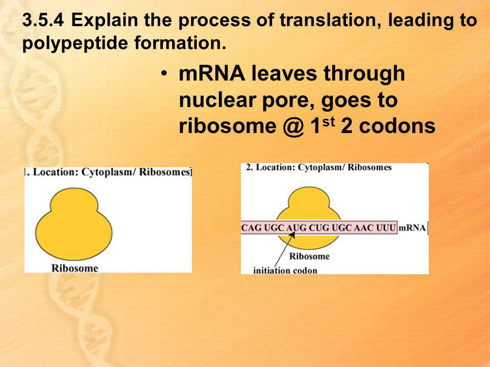 mRNA leaves through nuclear pore, goes to 1st 2 codons
