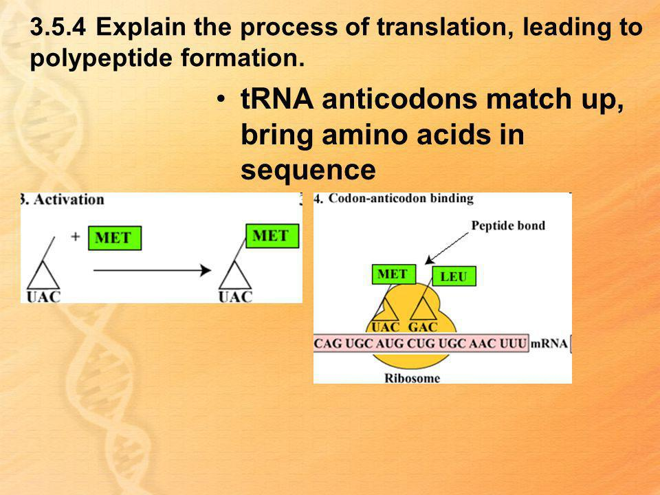 tRNA anticodons match up, bring amino acids in sequence