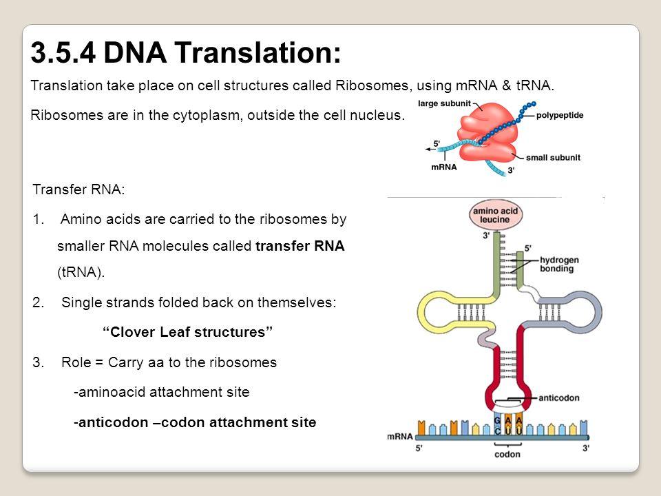 Transcription and translation ppt video online download.
