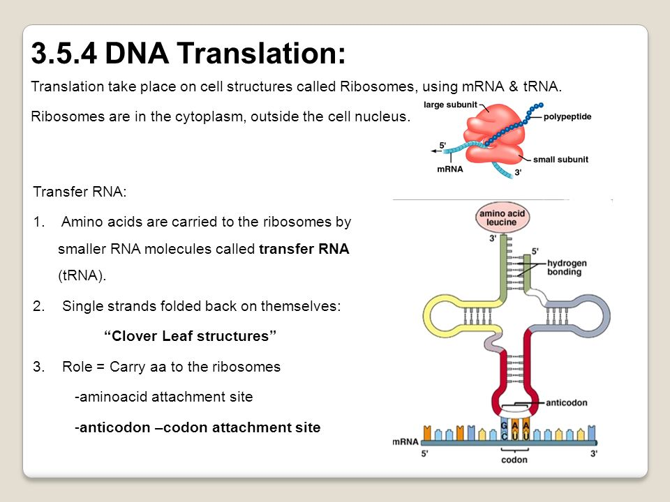 3.5.4 DNA Translation: Translation take place on cell structures called Ribosomes, using mRNA & tRNA.