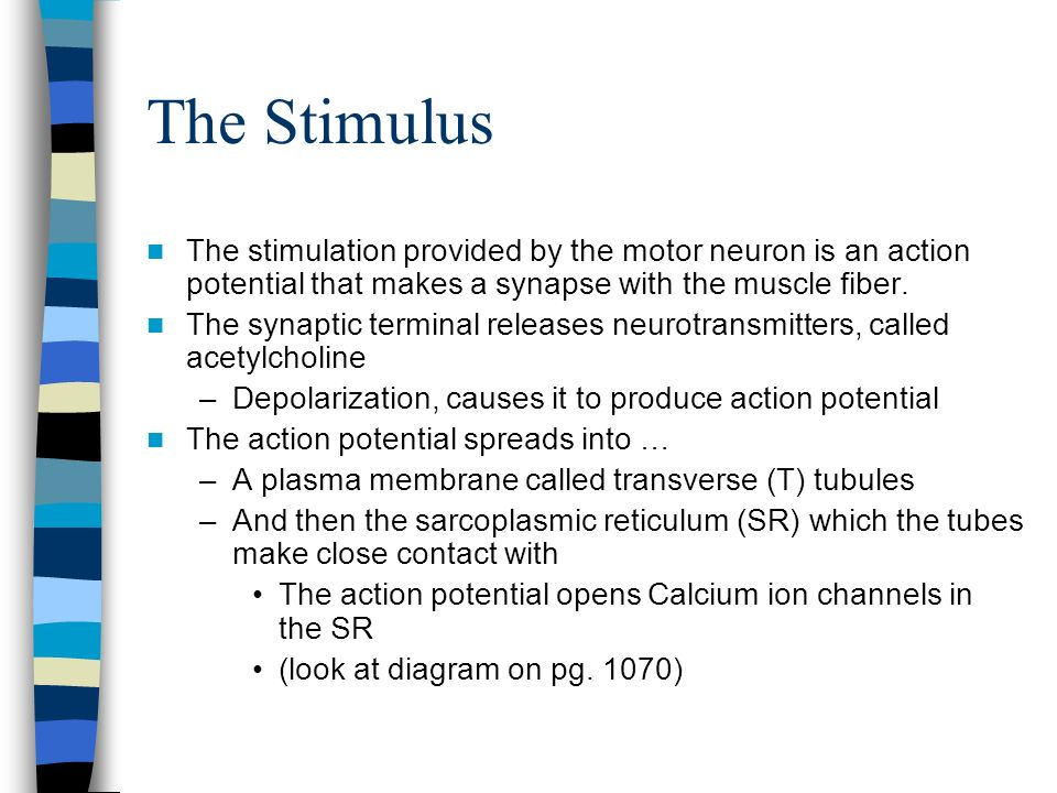 The Stimulus The stimulation provided by the motor neuron is an action potential that makes a synapse with the muscle fiber.