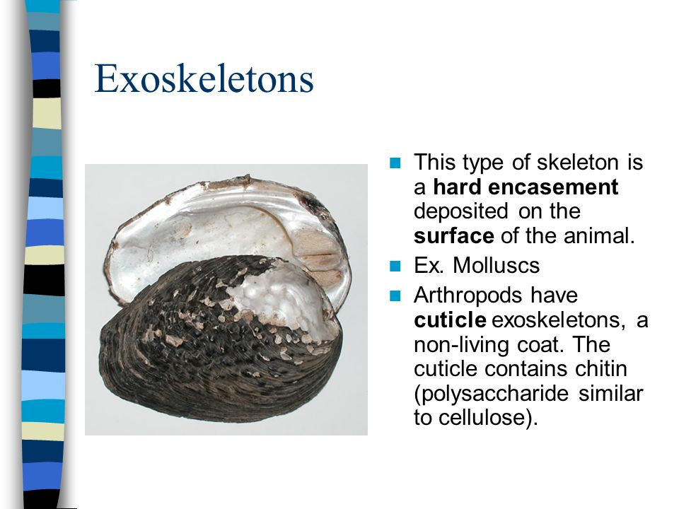 Exoskeletons This type of skeleton is a hard encasement deposited on the surface of the animal. Ex. Molluscs.