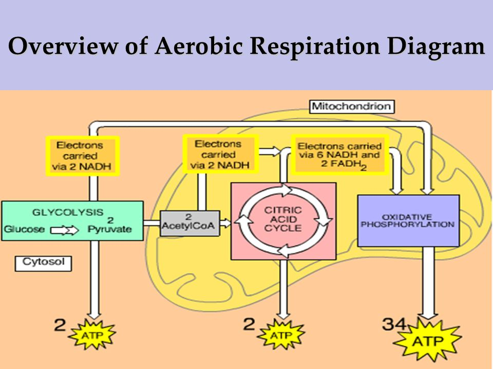 Overview of Aerobic Respiration Diagram