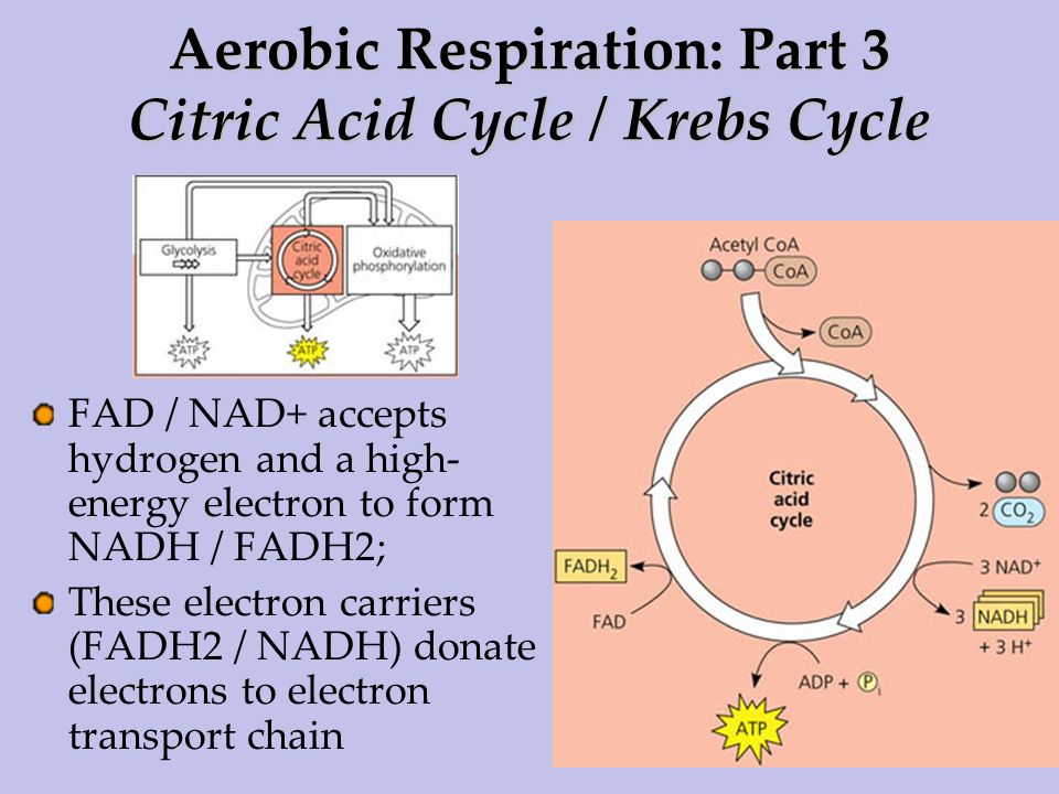 Aerobic Respiration: Part 3 Citric Acid Cycle / Krebs Cycle