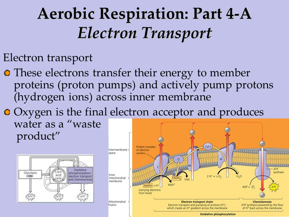 Aerobic Respiration: Part 4-A Electron Transport
