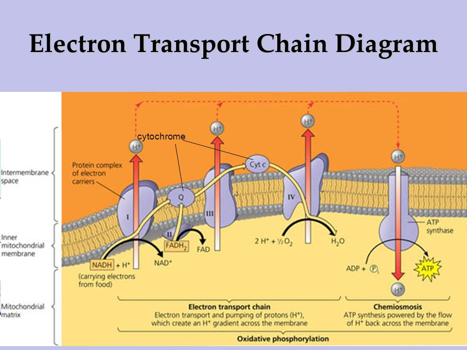 Electron Transport Chain Diagram