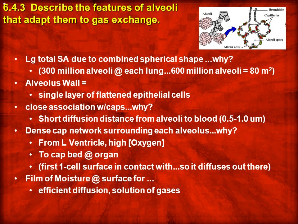 6.4.3 Describe the features of alveoli that adapt them to gas exchange.