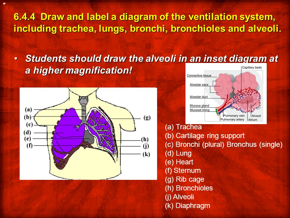 6.4.4 Draw and label a diagram of the ventilation system, including trachea, lungs, bronchi, bronchioles and alveoli.