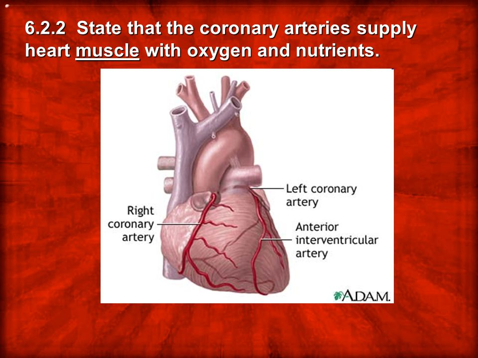 6.2.2 State that the coronary arteries supply heart muscle with oxygen and nutrients.