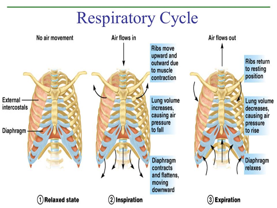 Respiratory Cycle Figure 10.9