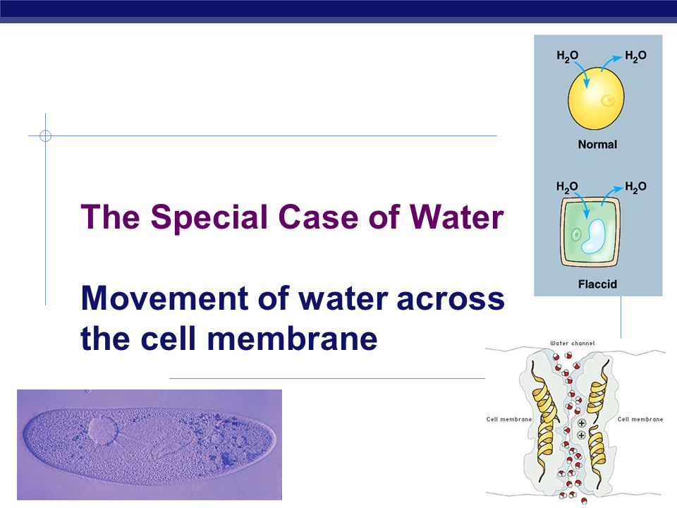 The Special Case of Water Movement of water across the cell membrane