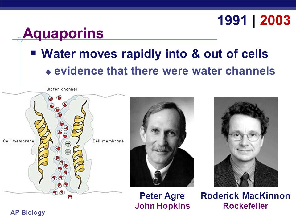 Aquaporins 1991 | 2003 Water moves rapidly into & out of cells