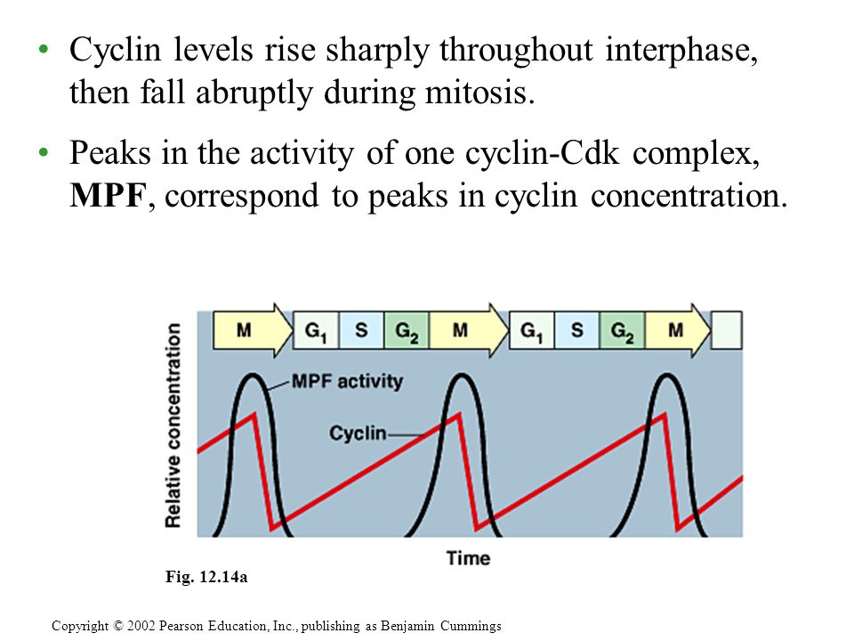 Cyclin levels rise sharply throughout interphase, then fall abruptly during mitosis.